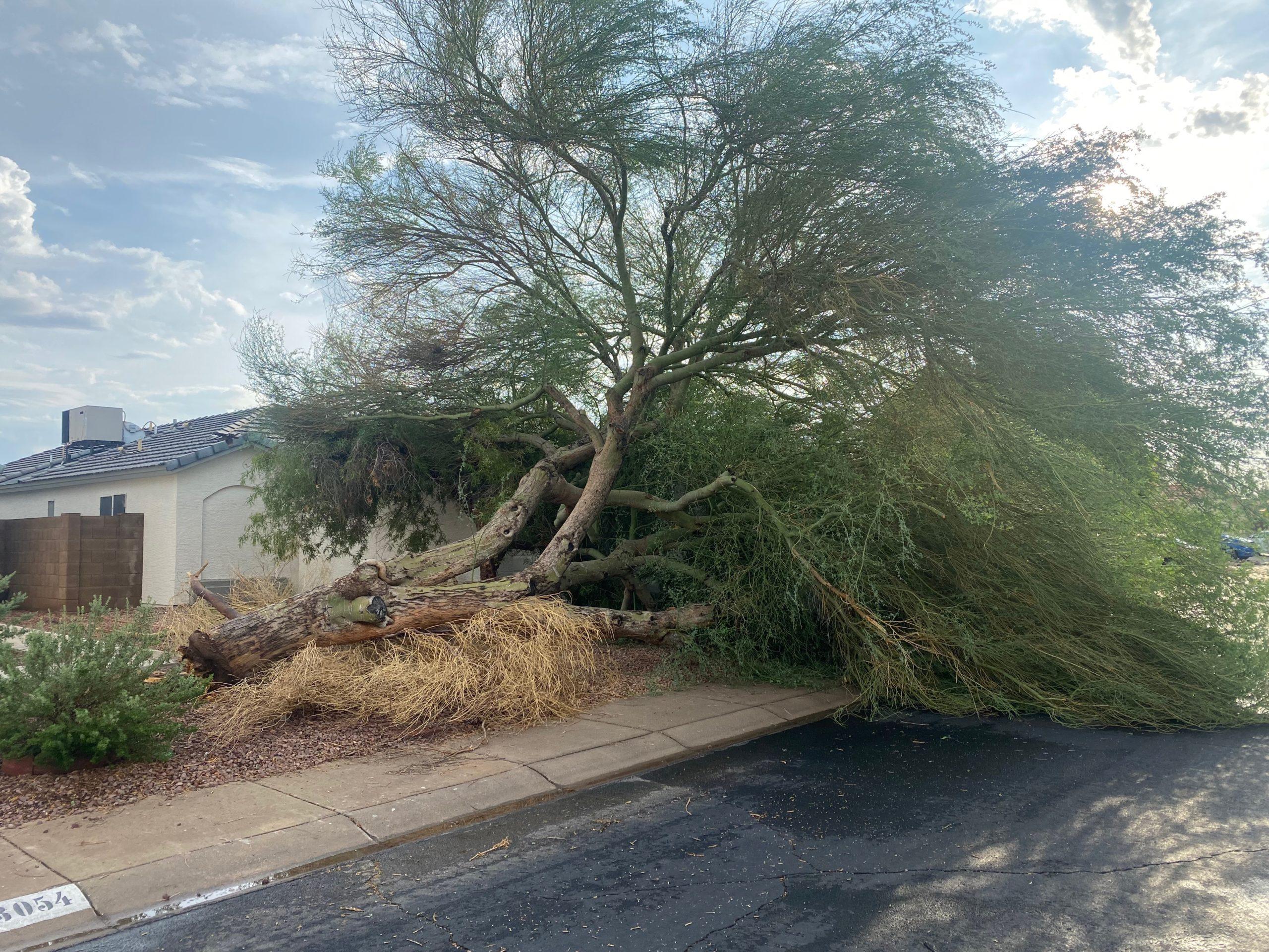 fallen palo verde tree